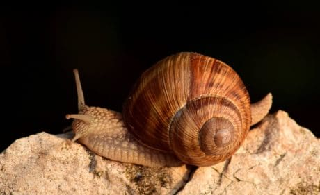 caracol marrón, invertebrado, animal, piedra, concha, naturaleza