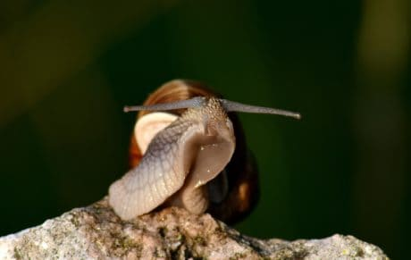 snail, brown, animal, stone, wet, nature, invertebrate