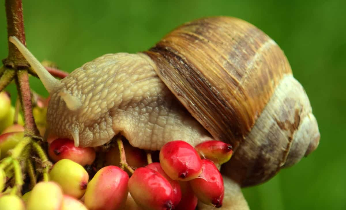 caracol, animal, planta, baya, fruta, naturaleza, invertebrados
