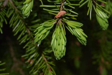 branch, conifer, winter, pine tree, evergreen, spruce, tree, plant