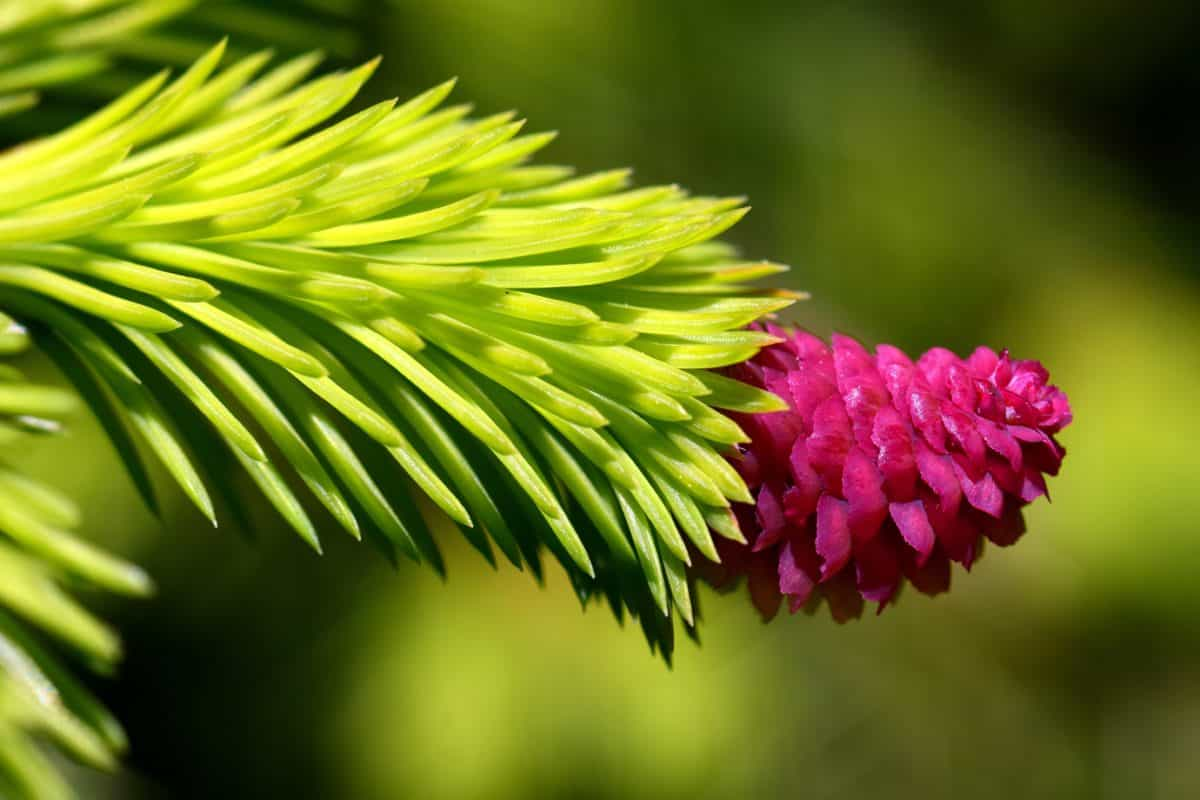 nature, tree, flora, plant, macro, herb, spruce, garden