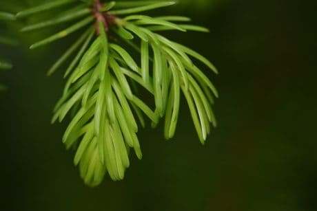 flora, nature, winter, tree, leaf, evergreen, conifer, branch