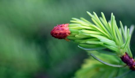 nature, flora, leaf, plant, conifer, branch, green leaf
