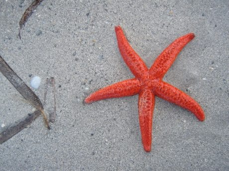 starfish, nature, seashore, sand, invertebrate, beach