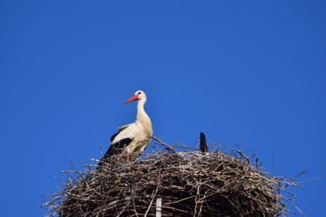 nest, nature, wildlife, blue sky, bird, stork, beak, outdoor, animal