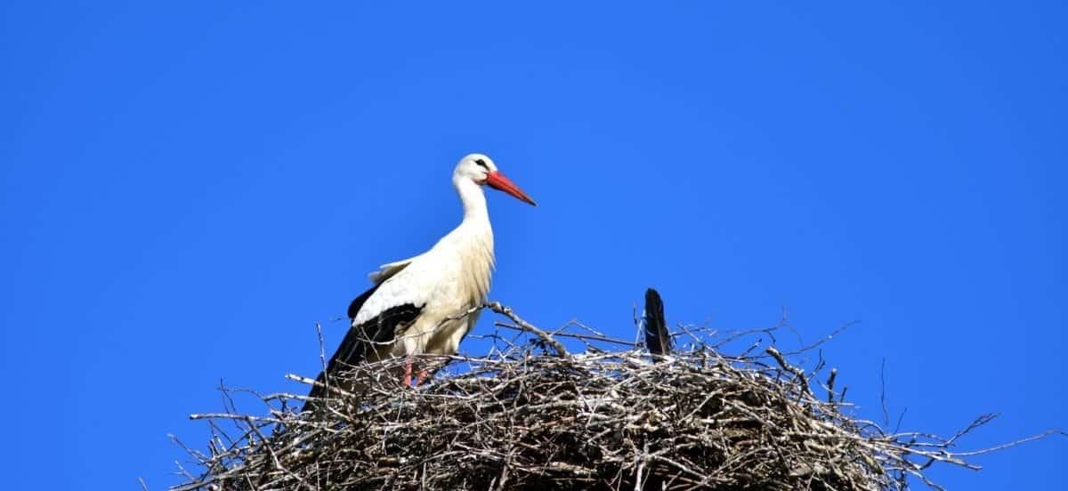 μπλε του ουρανού, πουλί, φωλιά, πελαργός, φύση, άγρια ζωή, ζώο, ράμφος