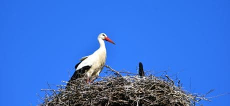 blue sky, bird, nest, stork, nature, wildlife, animal, beak