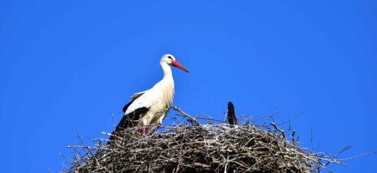 Синє небо, птах, гніздо, stork, природи, дикої природи, тварина, дзьоб
