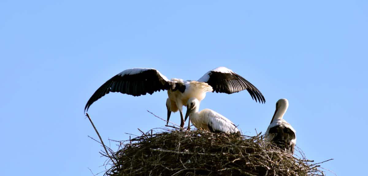 Tier-und Pflanzenwelt, blauer Himmel, Nest, Tier, Storch, Wild, Vogel, Flug, Natur