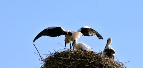 la faune, ciel bleu, nid, animal, cigogne, sauvage, oiseau, vol, nature