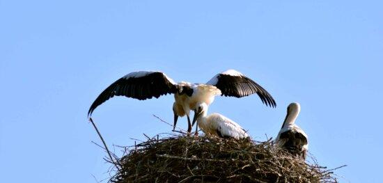 дикої природи, Синє небо, гніздо, тварин, stork, дикий, птах, польоту, природа
