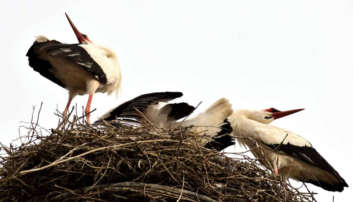 animal, feather, nature, bird, nest, beak, stork, wildlife