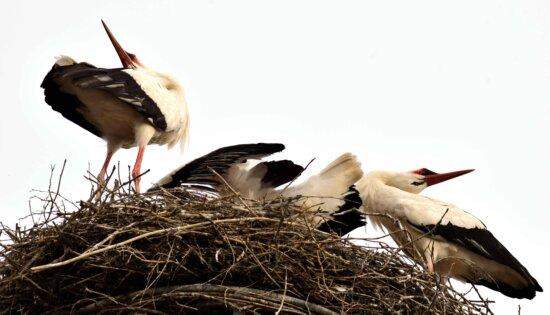 тварин, перо, природи, птах, гніздо, дзьоб, stork, дикої природи