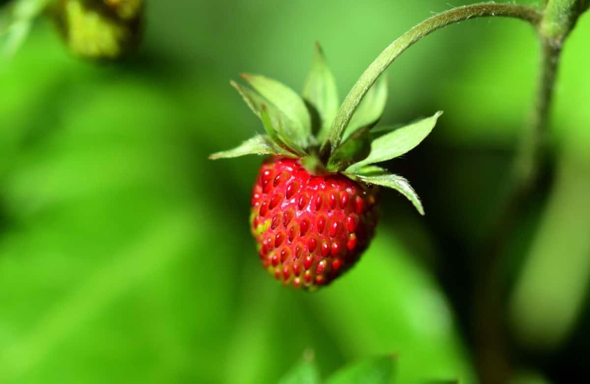 feuille, nature, été, jardin, fruit, nourriture, fraise, berry