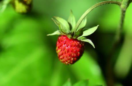 hoja, naturaleza, verano, jardín, fruta, comida, fresa, baya