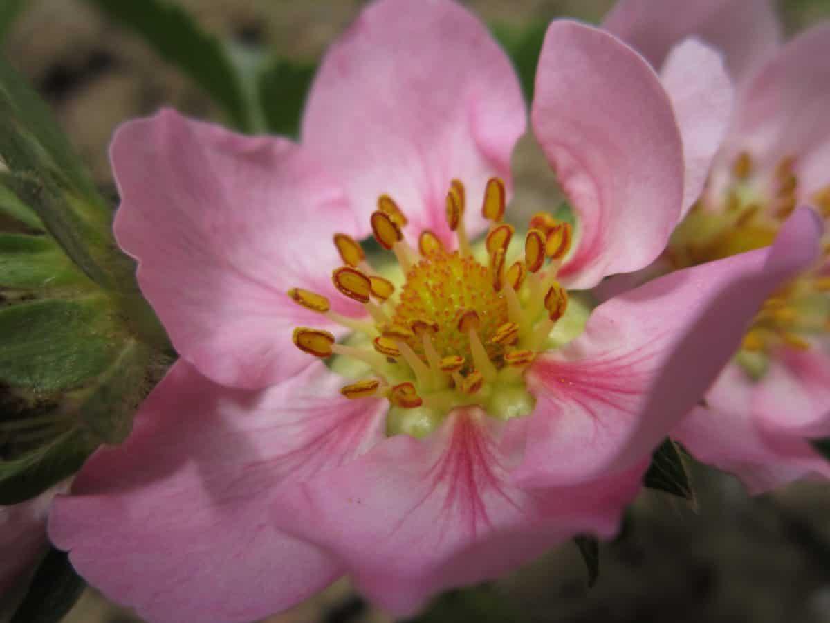 fiore, foglia, petalo, natura, flora, giardino, pianta, rosa, fiore
