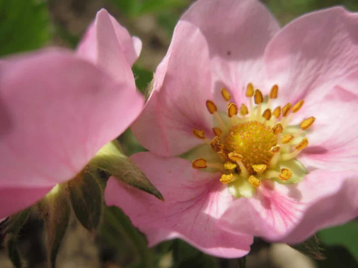 flore, jardin, pétale, fleur, nature, rose, plante, rose, fleur