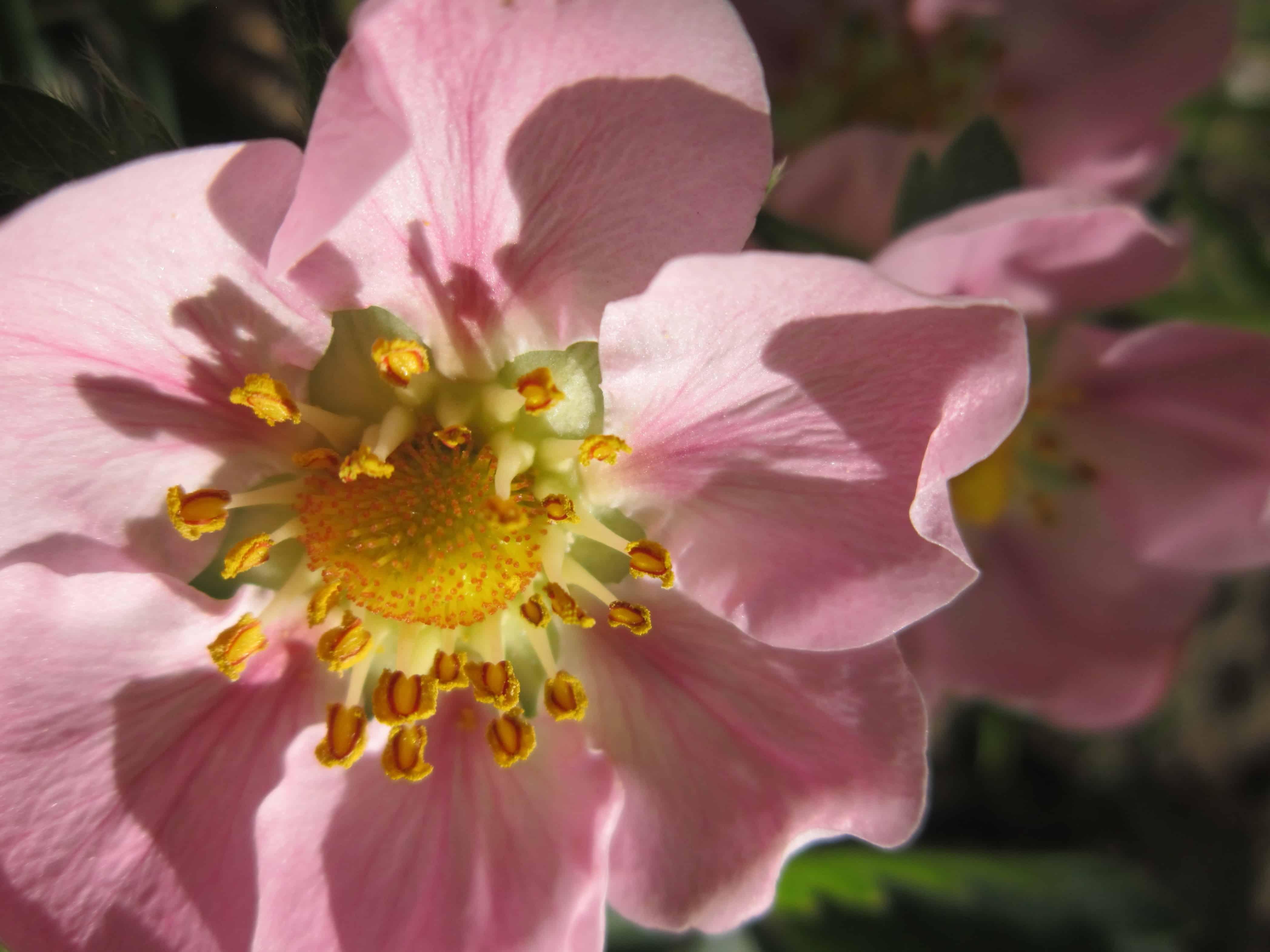 Rose Flora Flower Garden Nature Petal Plant Blossom Pink
