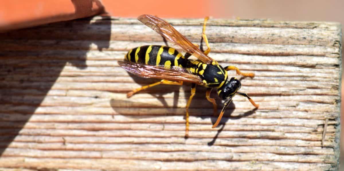 naturaleza, insectos, avispa, artrópodo, macro, invertebrado, animal