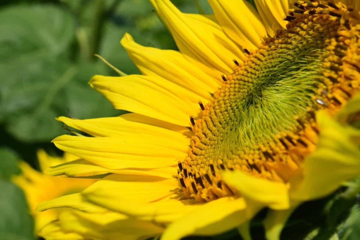 Sonnenblume, Blume, Pflanze, Kraut, Blütenblatt, Sommer, Flora, Makro