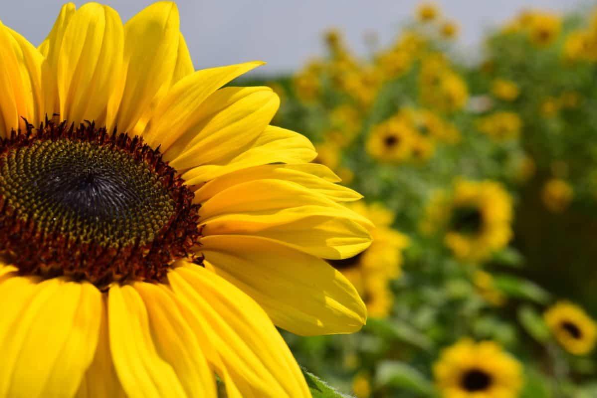 biologici, agricoltura, ambiente, foglia di luce solare, girasole,