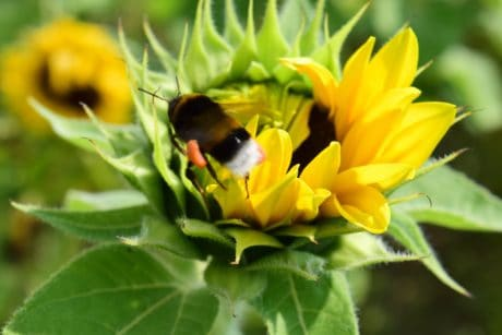 sunflower, bumblebee, insect, flower, petal, summer, plant, herb