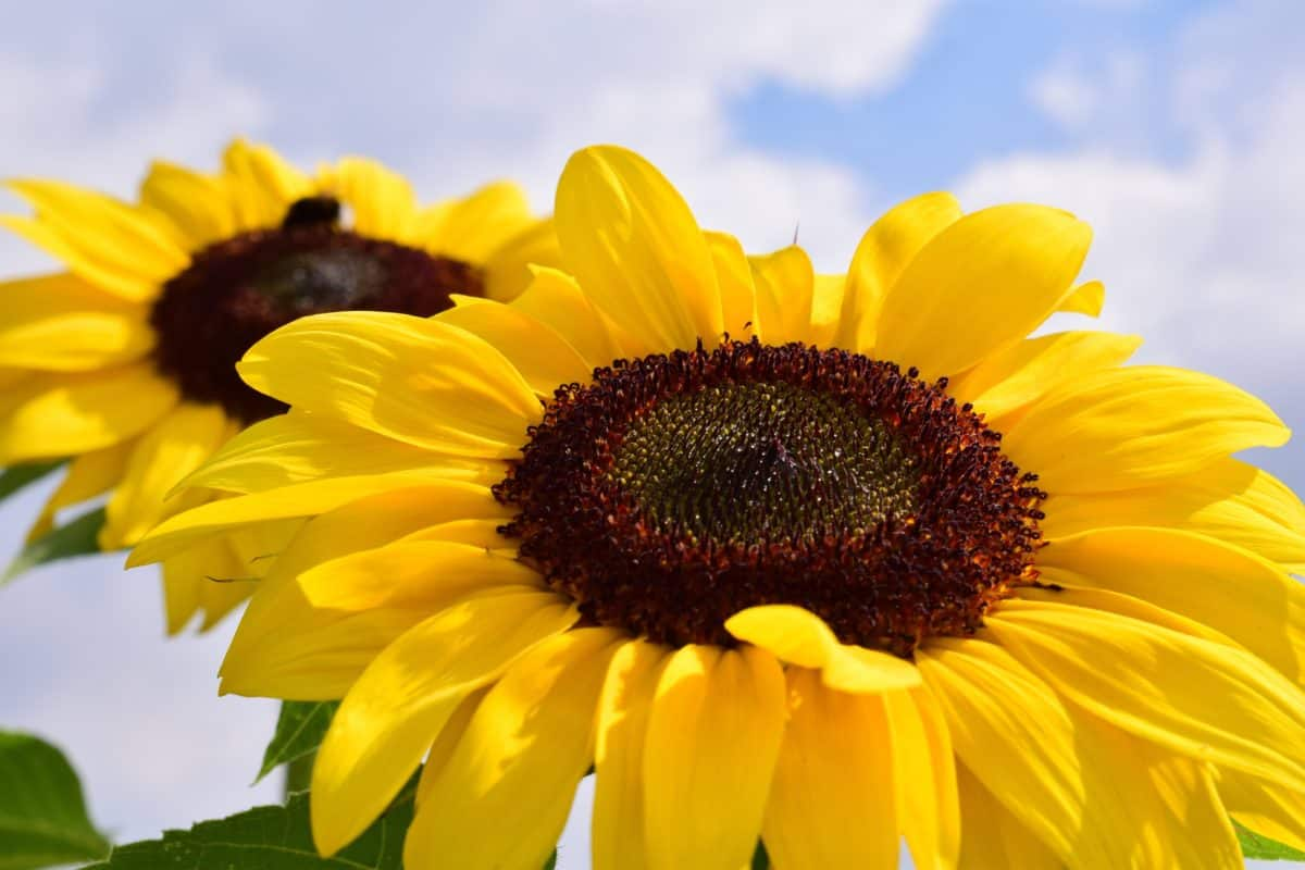 sunflower, flower, plant, petal, summer, blue sky, cloud, agriculture, flora