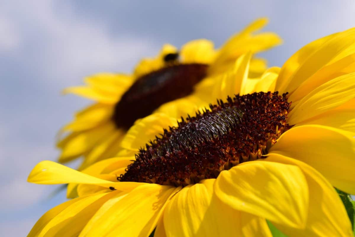 Sonnenblume, Blume, Pflanze, Sommer, Blütenblatt, Landwirtschaft, Tageslicht, blauer Himmel