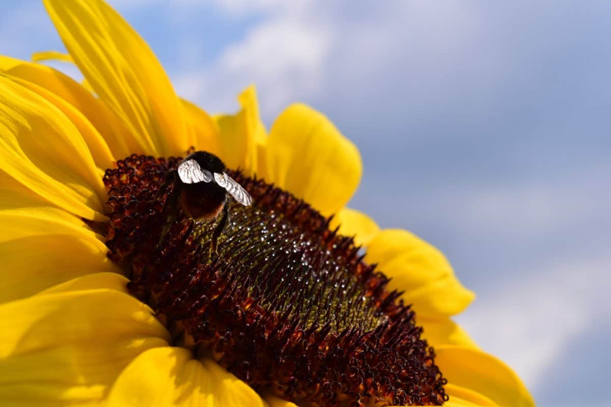 flower, sunflower, insect, pollen, blue sky, macro, agriculture