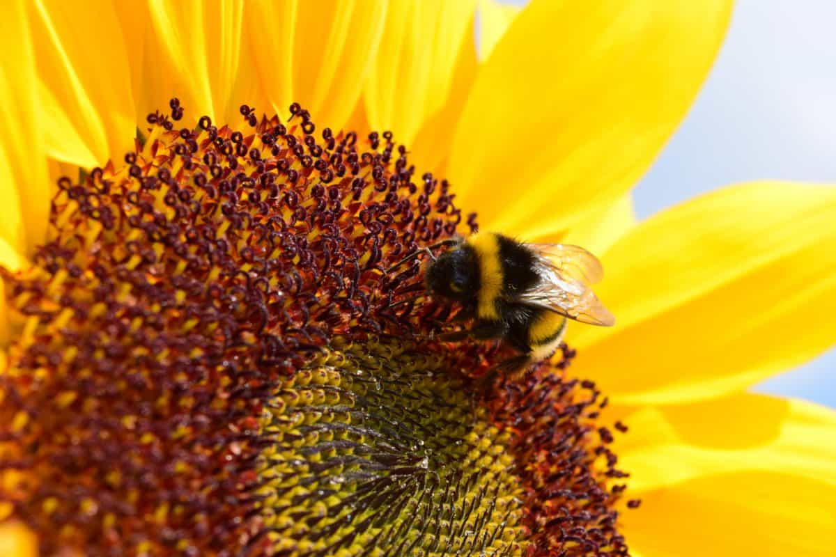 sunflower, flower, summer, petal, plant, sunshine, flora, agriculture