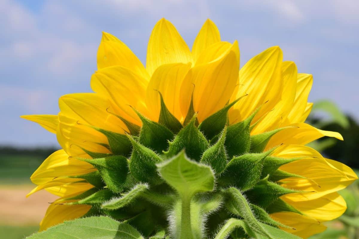 Natur, Sommer, Blume, Flora, Sonnenblume, Gren Blatt, Blüte, bunt, Landwirtschaft