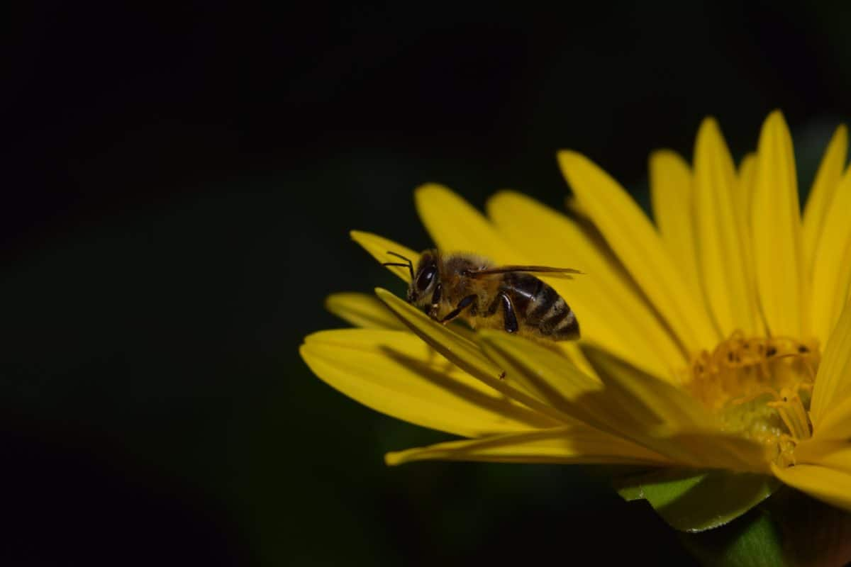 Biene, Makro, Detail, Dunkelheit, Insekt, Blume, Gliederfüßer, Blütenblatt, Pflanze, Sommer