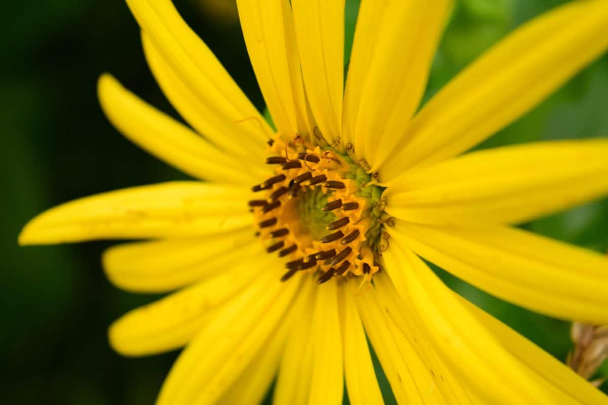fleur, fleurs sauvages, pétale, plante, jardin, macro, jaune, été, fleur