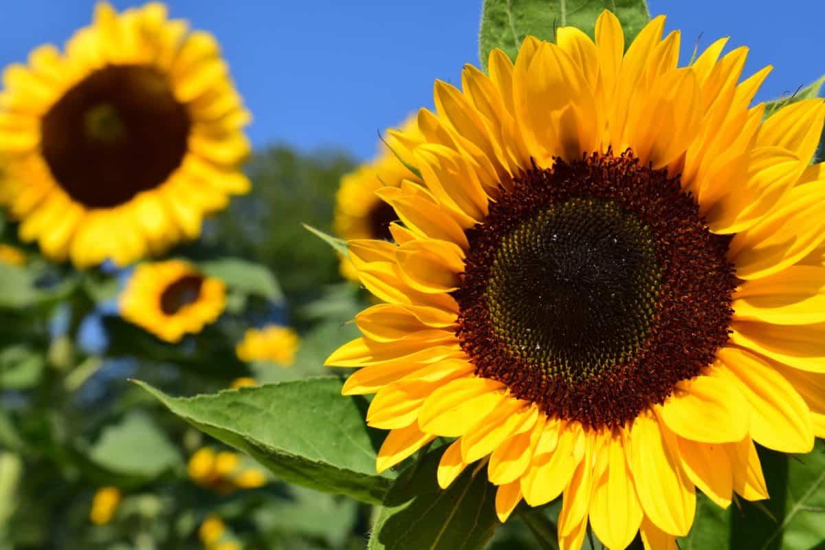 Sonnenblume, Blume, Feld, Sommer, Landwirtschaft, Pflanze, Blütenblatt, blauer Himmel