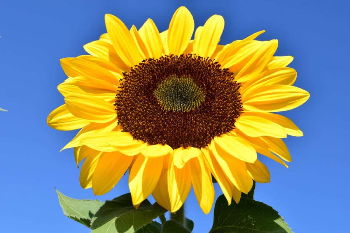 ดอกทานตะวัน ดอกไม้ สีฟ้า แมโคร ตามฤดู กาล เกษตร อินทรีย์ พืช