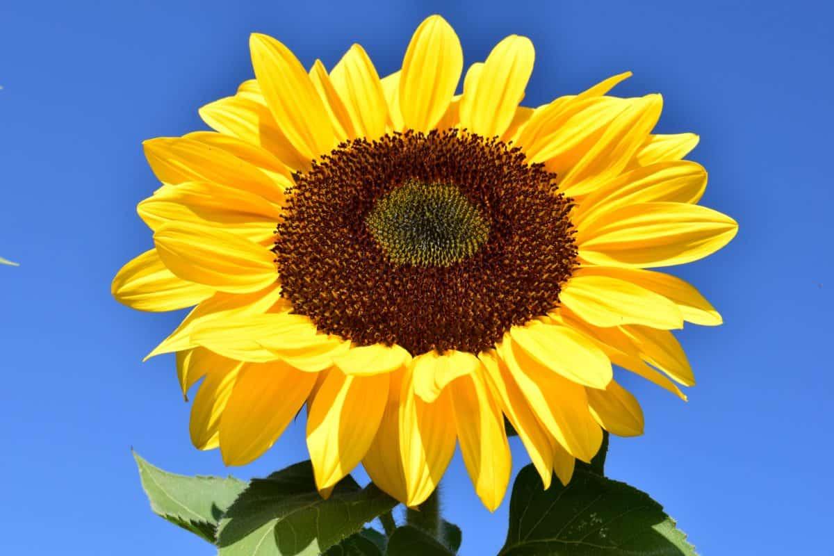 sunflower, flower, blue sky, macro, daylight, agriculture, organic, vegetation