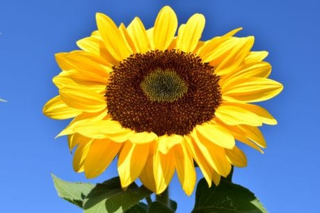 sunflower, flower, blue sky, macro, daylight, agriculture, organic, vegetation