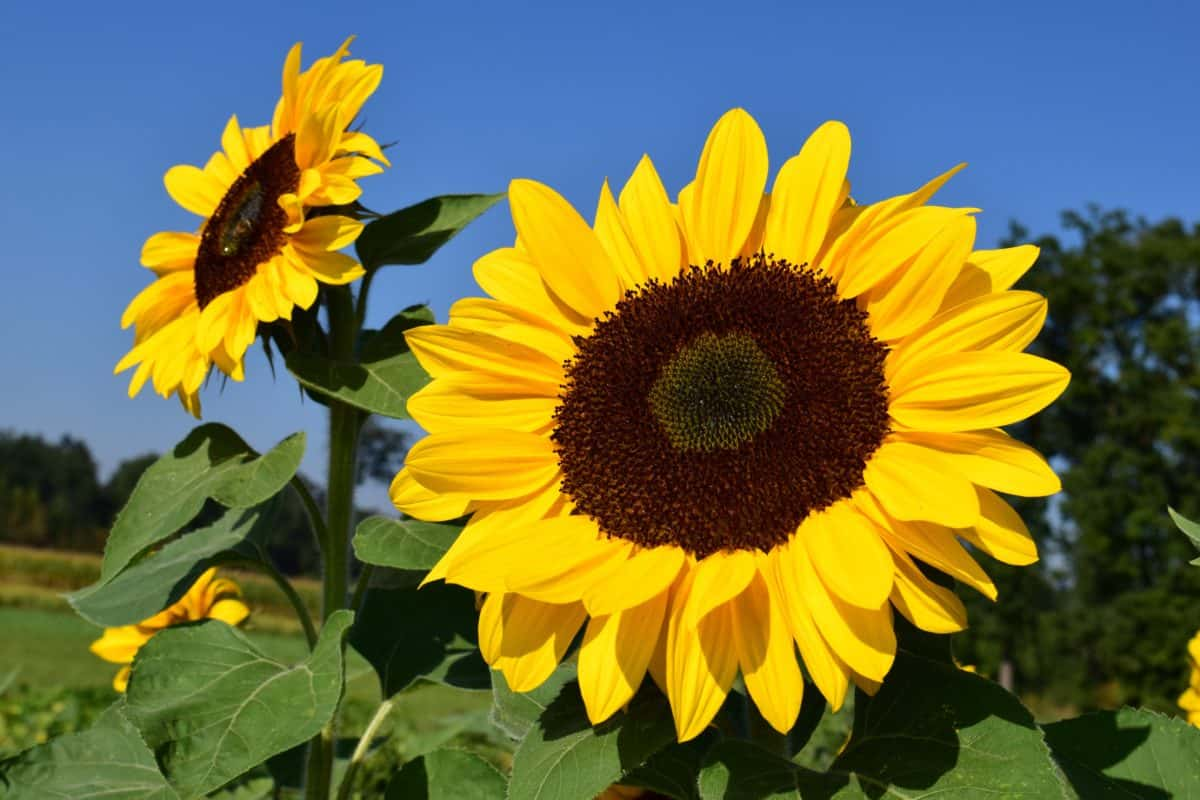 sunflower, blue sky, daylight, flower, field, agriculture, plant, summer, petal