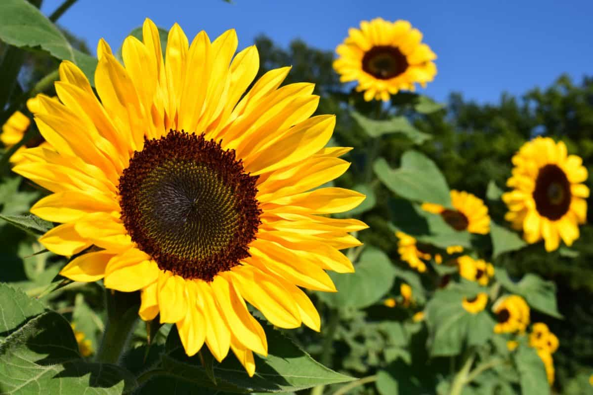 flower, sunflower, agriculture, environment, sunlight