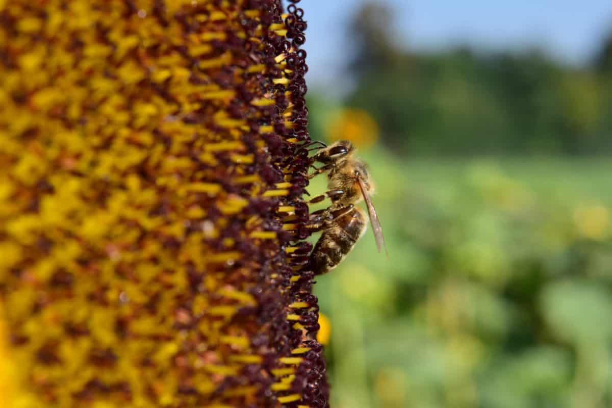 sunflower, bee, pollen, macro, daylight, insect, herb
