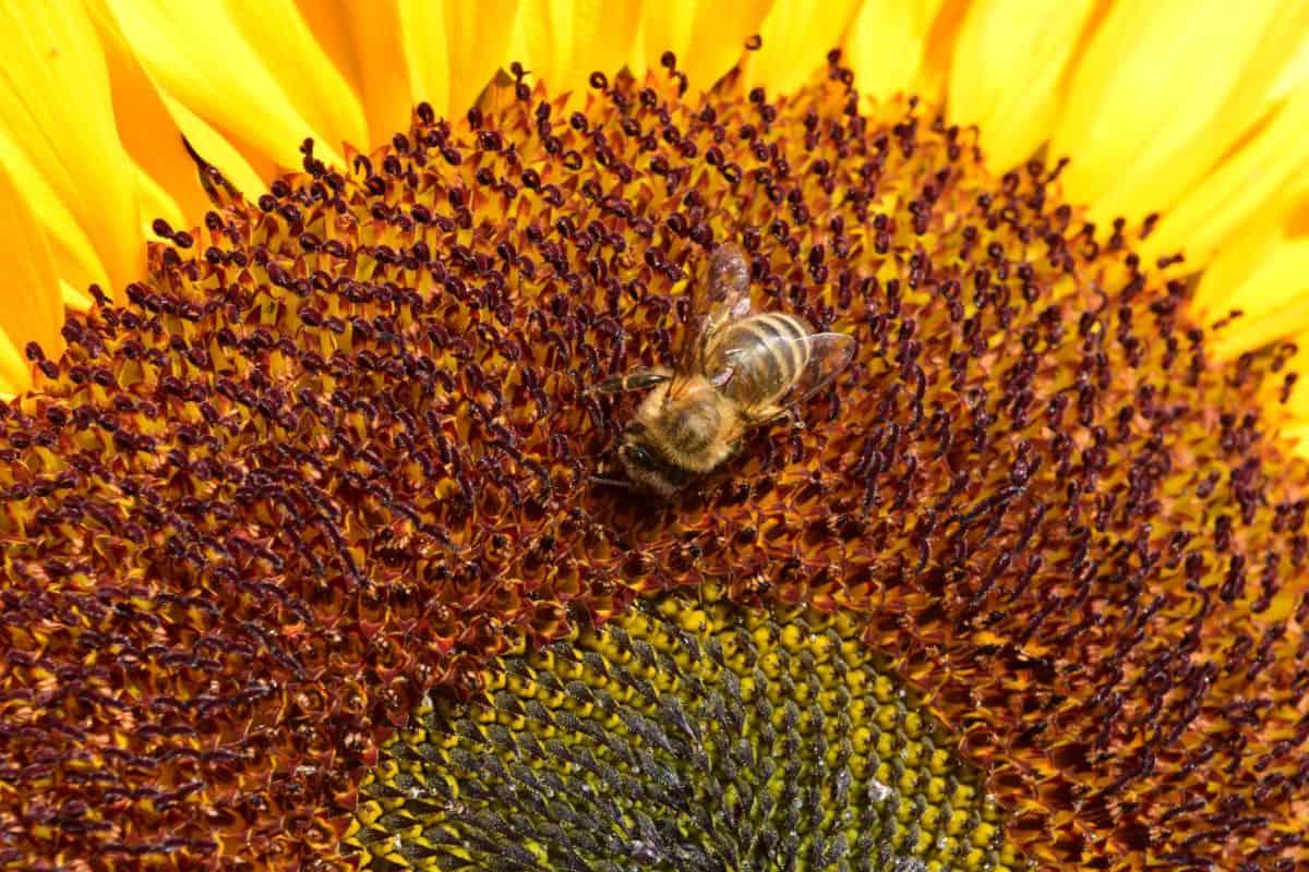 Sonnenblume, Blume, Sommer, Biene, Blütenblatt, Pflanze, Pflanzen, Garten, Samen