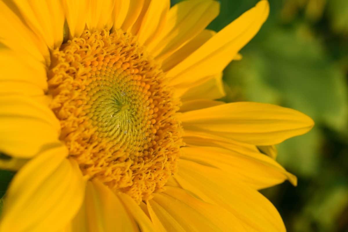 Wildflower, jaune, pollen, pistil, pétale, plantes, flore, lumière du jour, été, fleur, jardin