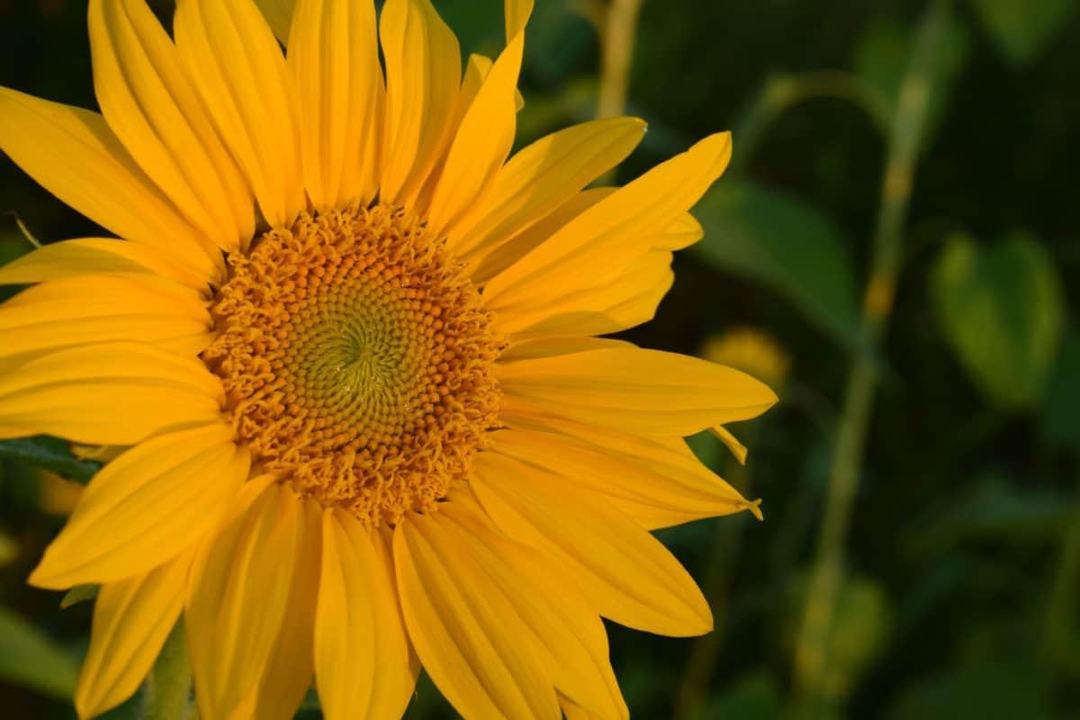Wildflower, pianta, petalo, estate, pistillo, macro, luce naturale, all'aperto, agricoltura