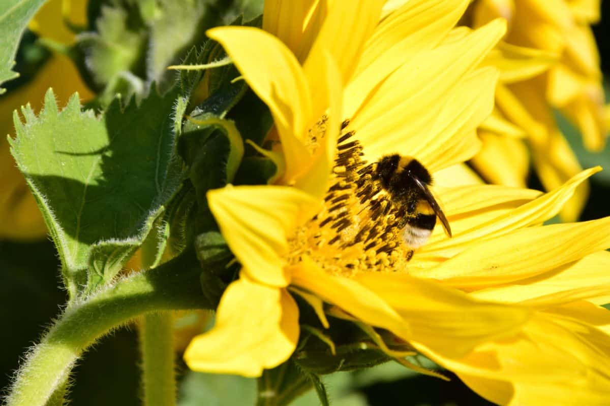 Bumblebee, girasole, fiore, pianta, petalo, insetto, estate, flora
