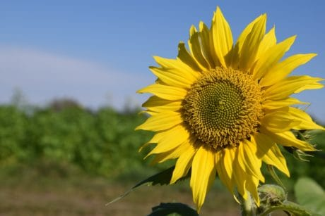 plant, sunflower, flower, blue sky, field, agriculture, daylight, outdoor