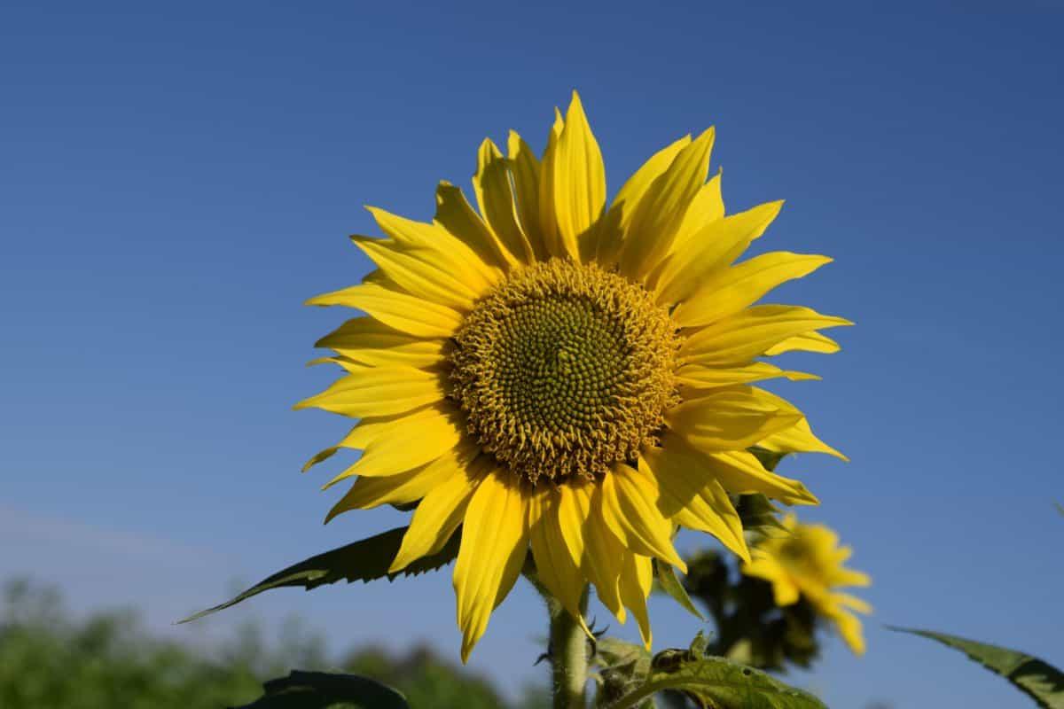 tournesol, fleur, plante, champ, l'agriculture, été, pétale