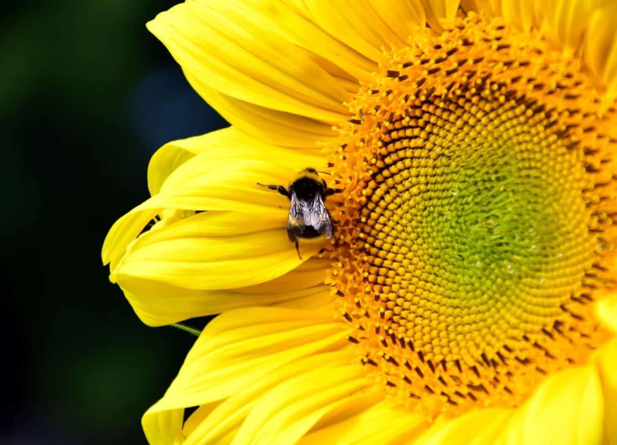 abejorro, hierba, macro, detalle, semilla, flor, girasol