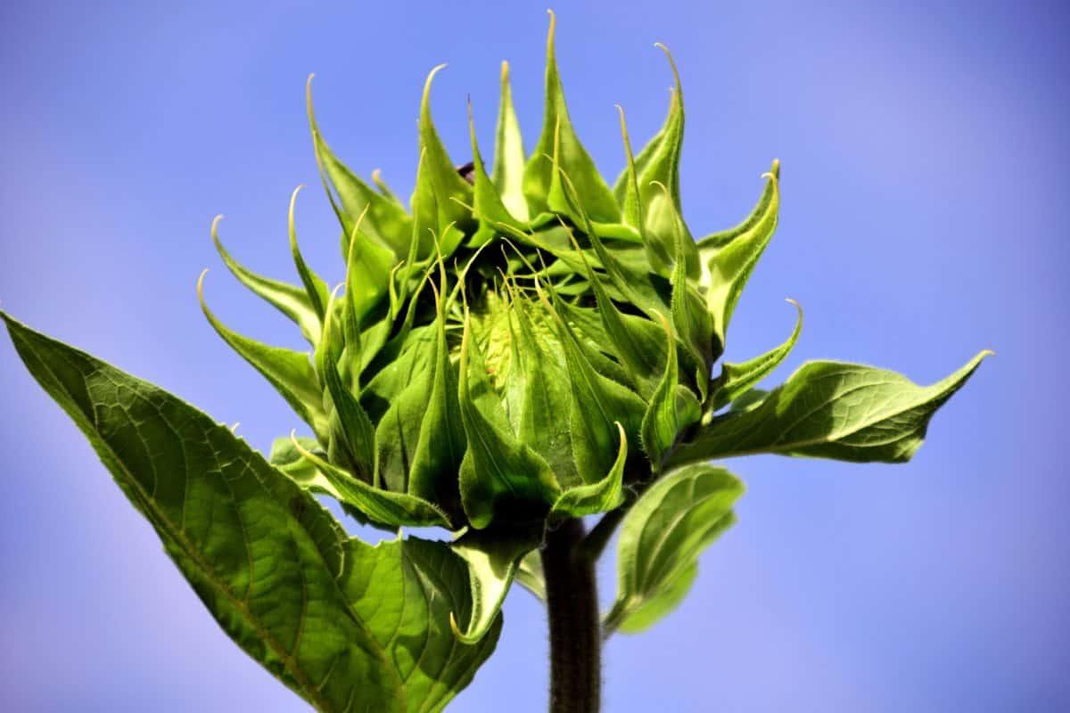 plant, herb, green leaf, blue sky, agriculture