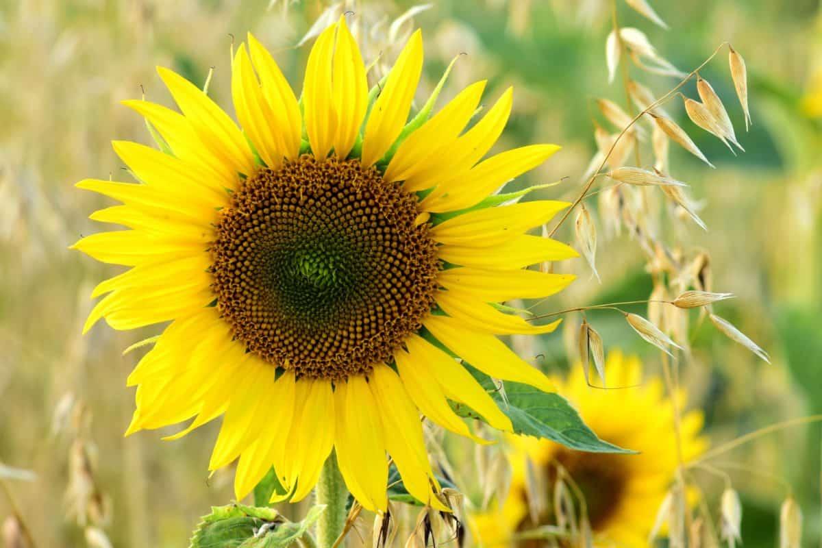 planta, flor, girasol, hierba agricultura, luz del día, pétalos, pistilo