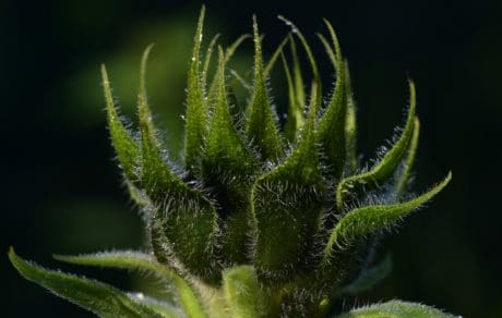 hierba, planta, girasol, hoja verde, oscuro, noche, detalle